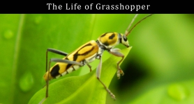 The Life of Grasshopper